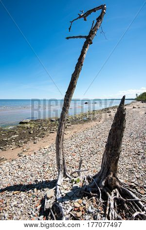 The old dry tree on the seashore