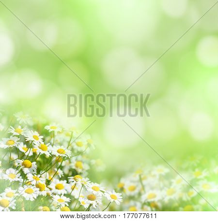 Summer natural background with beautiful daisies in sunlight.