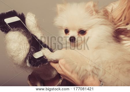 Cute pomeranian dog or puppy pet with fawn coat using smartphone mobile phone in cute faux fur cover in female hands wearing white woollen mittens on beige background