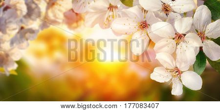 Beautiful cherry blossoms at sunset backlit closeup panoramic format also suitable as frame or background with copy space