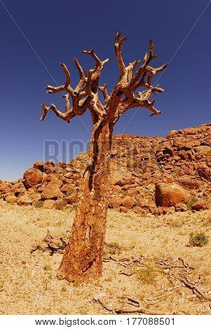 the wierd tree skeleton in South Africa