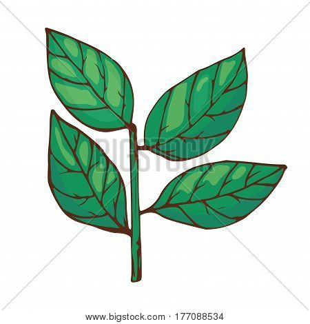 Bay leaves spice seasoning isolated on white background hand drawn aromatic green food and seasoning aniseed aroma condiment vector illustration. Cooking herb chinese green ingredient.