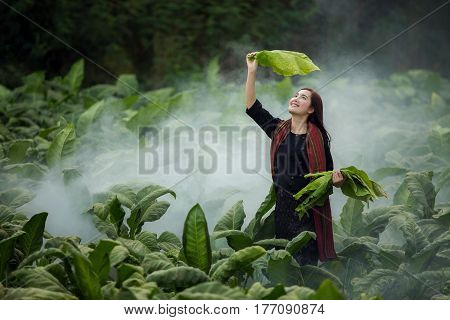 Asian beautiful girl are harvested tobacco in a tobacco farm diameter.