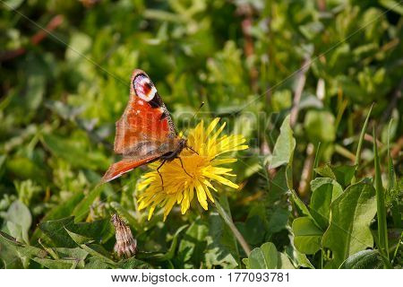 Beautiful butterfly on a yellow dandelion. Nature