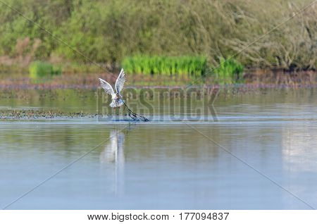 SEAGULL SPRING - bird collects the material to build a nest