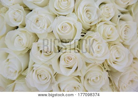 Bright creame roses flowers background. Beautiful flowers.