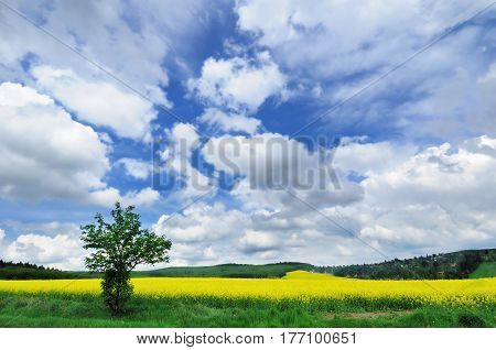 Panoramic view of rapeseed field and green hills under dramatically overcast sky