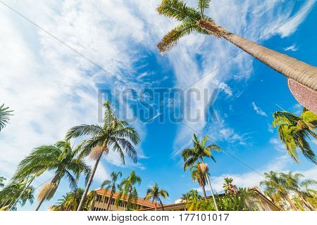 Tall palm trees in Santa Barbara California