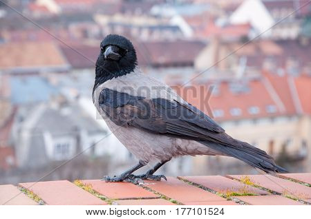 Grey Raven on the background of the Hungarian houses in Budapest.