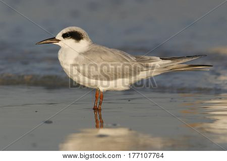 A Forster's Tern, Sterna forsteri in non-breeding plumage in winter on a beach in Florida