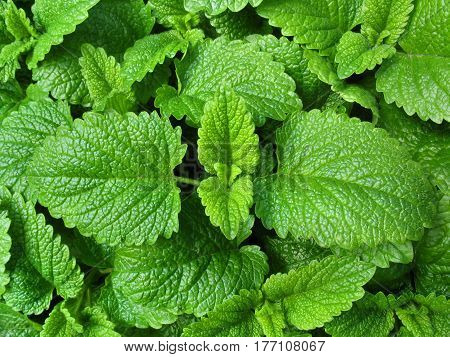 Lemon balm leaves from the garden - Melissa officinalis
