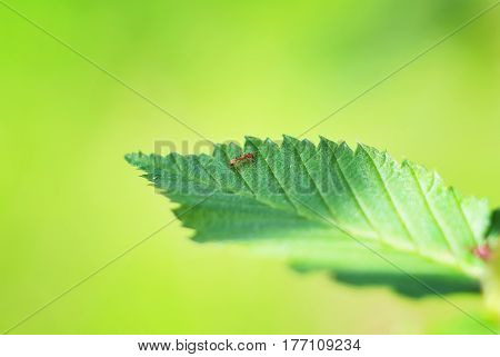 Ant on the green leaf. insect ant on leaf