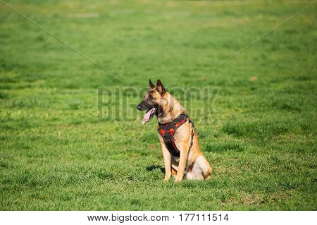 Malinois Dog Sit Outdoors In Green Summer Grass At Training. Trained Belgian Malinois Are Usually Active, Intelligent, Friendly, Protective, Alert And Hard-working.