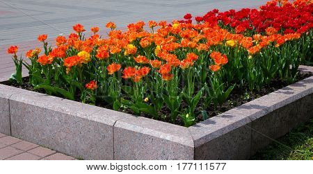 Fragment of a Flower Bed with Growing Double Petal Orange Red Tulips. Decoration landscaping in the City Park Garden. Spring Time Horizontal Image