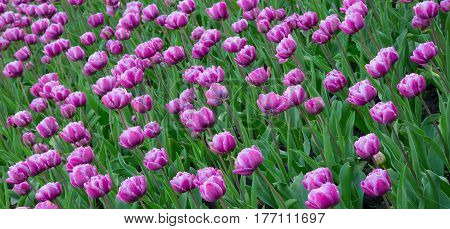 Colorful Nature Background of Tulips Flowers. Many Amazing Double lilac Tulips Growing in Decorative Flowerbed in the City Park Garden of Spring Day. Wide Screen Web banner Horizontal Image