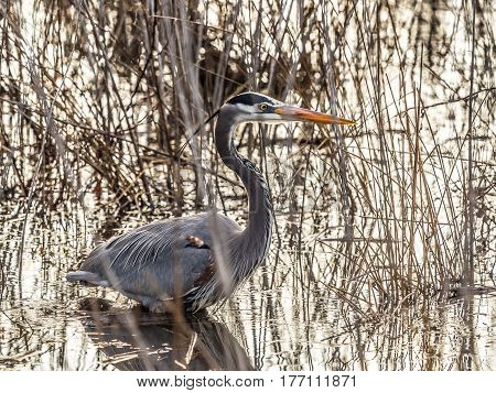 Great Blue Heron Wading in Swamp among Tall Reeds