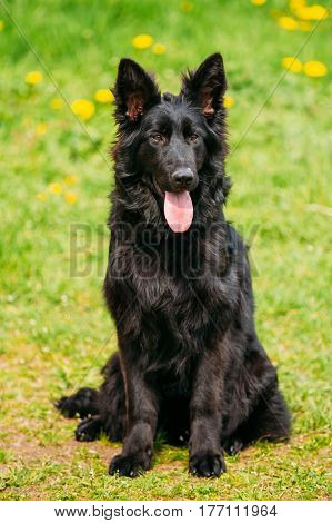 Beautiful Young Black German Shepherd Dog Sit In Green Grass. Alsatian Wolf Dog Or German Shepherd Dog On Green Grass Background. Deutscher Dog.