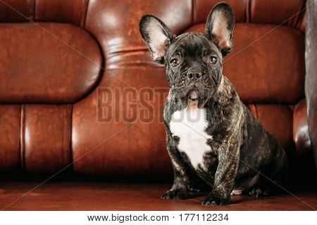 Potrait Of Young Black French Bulldog Dog Puppy With White Spot Sit On Red Sofa Indoor. Funny Dog Baby