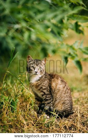 Cute Tabby Gray Cat Kitten Pussycat Play In Grass Outdoor At Sunny Summer Evening. Small Cat Sitting In Grass Under A Bush Branch