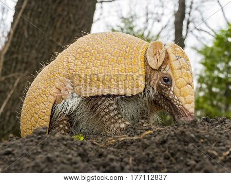 Southern three-banded armadillo - Tolypeutes matacus - on the ground