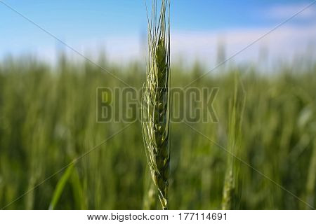 Field of spring wheat in the Kharkiv region of Ukraine. June 2007