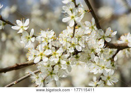 Clouseup of white plum flower spring blossom