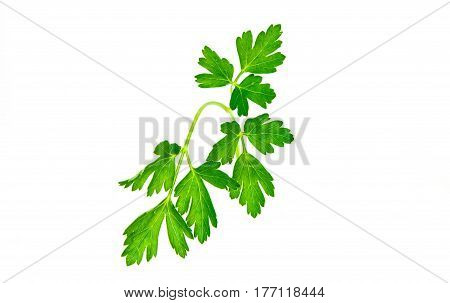 Close-up of parsley isolated on white background
