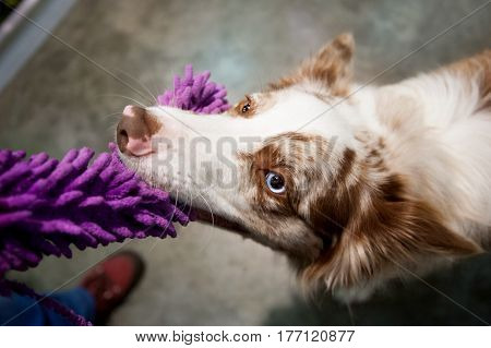 Border collie pulling the toy in wide angle