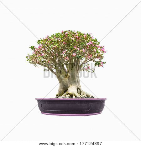Impala Lily tree in pot isolated on white background