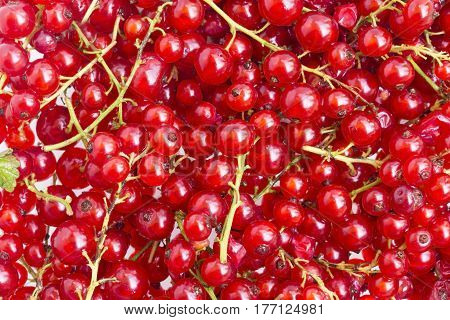 Red ripe currant close up as background