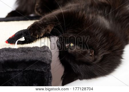 Sweet black cat playing with mouse toy
