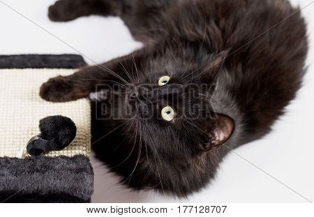 Sweet black cat with play post looking