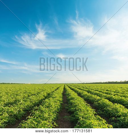 blue sky with clouds in sunset over field with tomatoes bushes