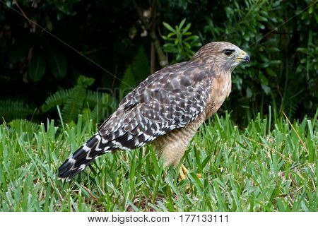 A Red-shouldered Hawk, Buteo lineatus on the ground keeping a watchful pose