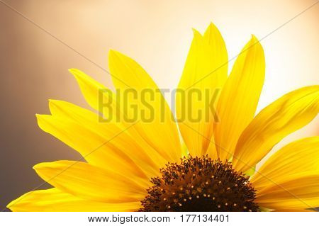 Field of blooming sunflowers on a clear sunny day