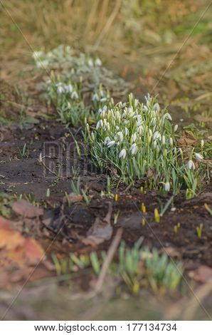 Snowdrop Spring Flower In Forest