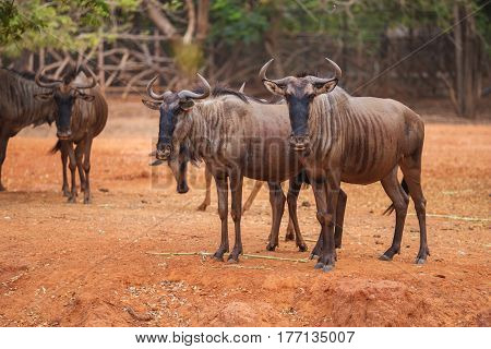 group of Blue Wildebeest (Connochaetes taurinus) in the zoo