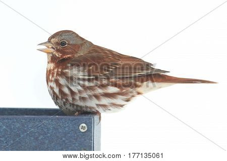 Fox Sparrow( Passerella iliaca) on a feeder with a white background