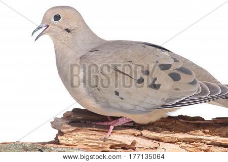 Mourning Dove (Zenaida macroura) close-up with a white background