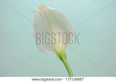 Elegant Full Blooming Calla Lily Indoor Photo