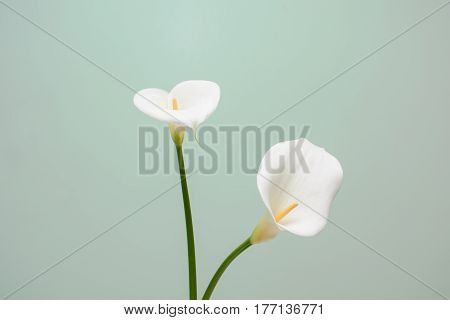 Elegant Full Blooming Calla Lily Indoor Photo
