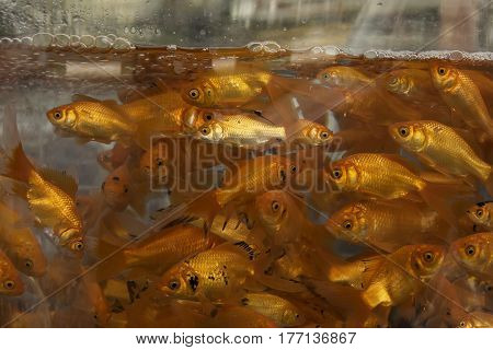 Goldfishes in the Water in the Aquarium Brought for Sale.