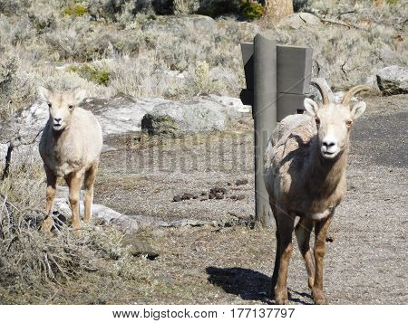 Yellowstone National Park Northside Bighorn Sheep staring