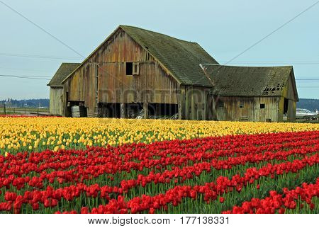 Weathered Old Barn with a Sunlit Field of Yellow and Red Tulips