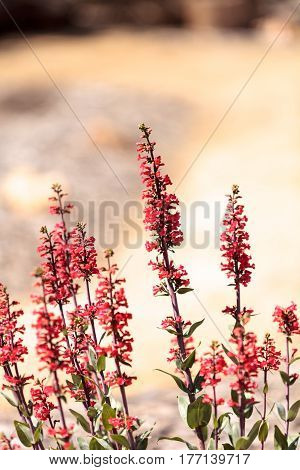 Bright Fuchsia Pink Scarlet Bugler Flowers