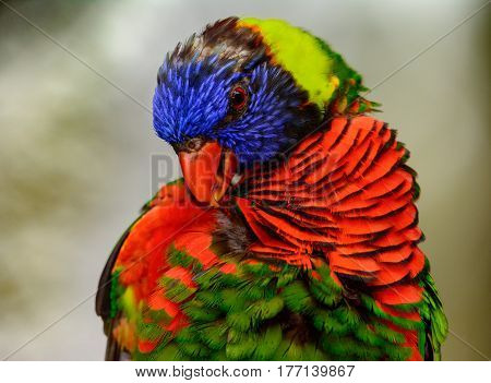 Rainbow lori (Trichoglossus moluccanus) close-up as he grooms his feathers. Also called a lorikeet
