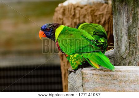 Rainbow lori (Trichoglossus moluccanus) perched in enclosure. Colorful curious clever birds. Also called a lorikeet