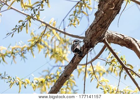 Black white and red hairy woodpecker Picoides villosus in a tree in Southern California