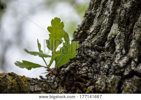 new green leaves at old tree branch in the spring forest
