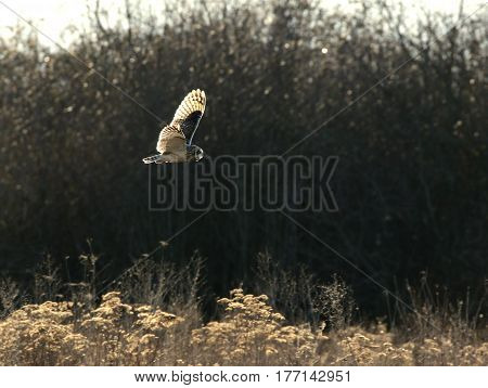 Short-eared Owl in Flight with Backlit Lighting